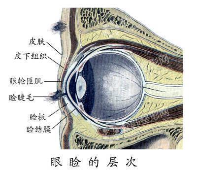 眼部结构图解大全
